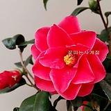 홍우의동백(꽃대수형/73)-동일품배송|