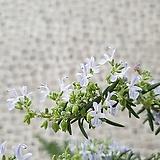 도희씨네 정원>> 꽃이피는 로즈마리 클리핑 로즈마리 159|