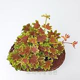 도희씨네 정원>> 천연 해충퇴치 식물 단풍 제라늄 080|