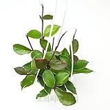 도희씨네 정원>> 잎색이 고운 환희호야 099|
