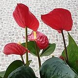 도희씨네 정원>> 사계절 꽃을 볼수있는 안시리움 빨강 189|