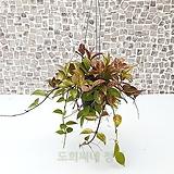 도희씨네 정원>> 가을에 젤 이쁜 호야 록타오 썬라이즈|