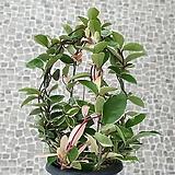 도희씨네 정원>> 풍성하게 즐기는 넝쿨호야 가든형 250|