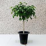 도희씨네 정원>> 줄기의 늘어짐이 멋드러진 킹벤자민 320|