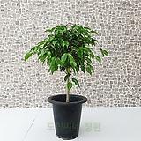 도희씨네 정원>> 풍성한 초록잎 외목 벤자민 중형 250|