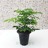 도희씨네 정원>> 녹색의 보석 녹보수 가지 120|