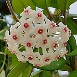 도희씨네 정원>> 하얀별꽃 카노사 화이트 160|
