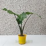 도희씨네 정원>> 신품종 포르타도라 하이브리드 알로카시아 190|
