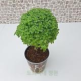 도희씨네 정원>> 막대사탕 토피어리 바질트리 대형 240|