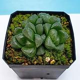 환엽 옵투사 (장미환)  한국|Haworthia cymbiformis var. obtusa