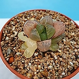 환엽 자옵투사|Haworthia var. obtusa(purple)