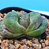 옵투사 단엽 나사지(묵)|Haworthia cymbiformis var. obtusa