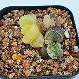 옵투사 단엽 나사지 (묵)|Haworthia cymbiformis var. obtusa