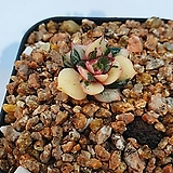 모노케로티스 금 (비취)|variegated