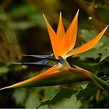 도희씨네 정원>> 신비로운 꽃을 피우는 극락조화 두포기 350|