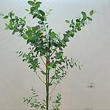 유칼립투스.아주 좋은향.상태굿.나무대비 가격저렴합니다.화분부터90~100cm정도입니다.나무모양예쁩니다.공기정화식물.~|