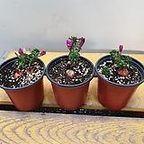 목사랑초( 진한핑크색 꽃이 피는아이에요) |