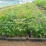 남천나무 30센티 전후 40포트 