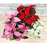포인세티아 화분 소품 레드 크리스마스 연말 겨울식물|