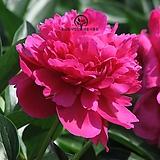 세종식물원 신품종 네덜란드 개량 작약 꽃 숙근 포트 특선 (11종) 