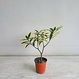황금무늬천리향/공기정화식물/온누리 꽃농원|variegated