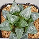 콤프토니아 실생 Haworthia comptonia