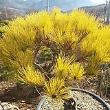 황금소나무/황금빛으로 변화중/실물배송|