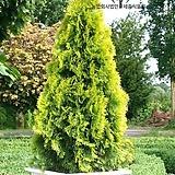 세종식물원 조경수 에메랄드그린 개량 신품종 골든스마라그 묘목 화분 