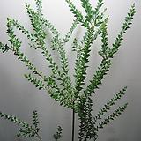 삼각잎아카시아,대품C1522-굵은목대,동일품배송,무료배송|