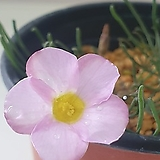 옥살리스(사랑초) 플라바 핑크|