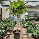 뱅갈고무나무/대품/높이130센치|