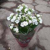 칼란디바/흰색|