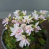 대문자초♡ 겹꽃 2|