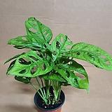 [J]오블리쿠아 몬스테라 아단소니(S2) 2020 새상품/공기정화에 탁월한 고급스런 식물|