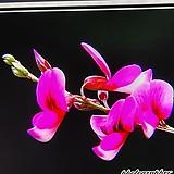 진분홍싸리(묵은주)3|