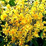 노랑환타지아(꽃대 대품)|Echeveria Fantasia Clair