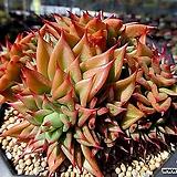 짧은잎적성 한몸군생 묵은둥이|Echeveria agavoides Akaihosi
