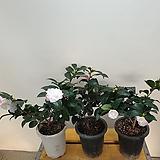 매향동백나무( 새로입고) 농장직영판매|
