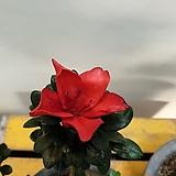 빨간철쭉나무( 꽃망울이 있네요)  농장직영  가격저렴|