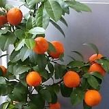 오렌지레몬나무C1542-외목대,동일품배송|