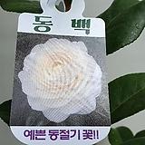 동백 흰색겹꽃/랜덤 
