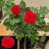 스템장미.스탠드장미.레드 레오날드다빈치.!!!예쁜진한빨강색!!!.old rose 향기.꽃크기8~9cm.(꽃형 로제트형).월동가능.상태굿..늦가을까지 피고 합니다.|