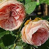 스템장미.스탠드장미.폼폰 베란다.!!!예쁜살구핑크색!!!.old rose 향기.꽃크기8~9cm.(꽃형 로제트형).월동가능.상태굿..늦가을까지 피고 합니다.|