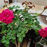 스템장미.스탠드장미.멜라비오우.!!!예쁜심홍색!!!.old rose 향기.꽃크기7~8cm.(꽃형 예쁜형).월동가능.상태굿..늦가을까지 피고 합니다.|