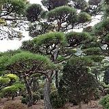 조경용소나무|