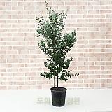 도희씨네 정원>> 네츄럴한 초록 분위기 유칼립투스 대형 240|