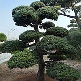 소나무(오엽송)|