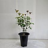 계화나무/공기정화식물/반려식물/온누리 꽃농원|