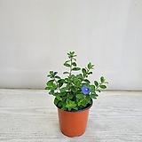아메리칸블루/공기정화식물/반려식물/온누리 꽃농원|