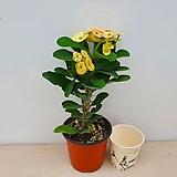 꽃기린(신품종)|